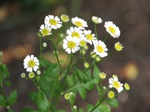 Feverfew    March 08